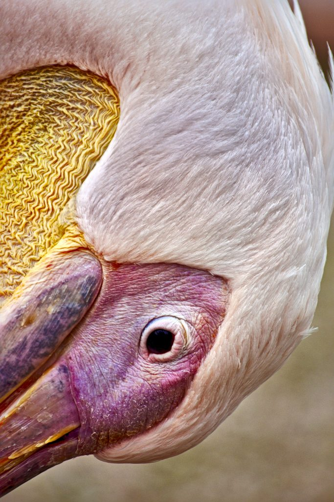 Pelikan Tierpark Berlin