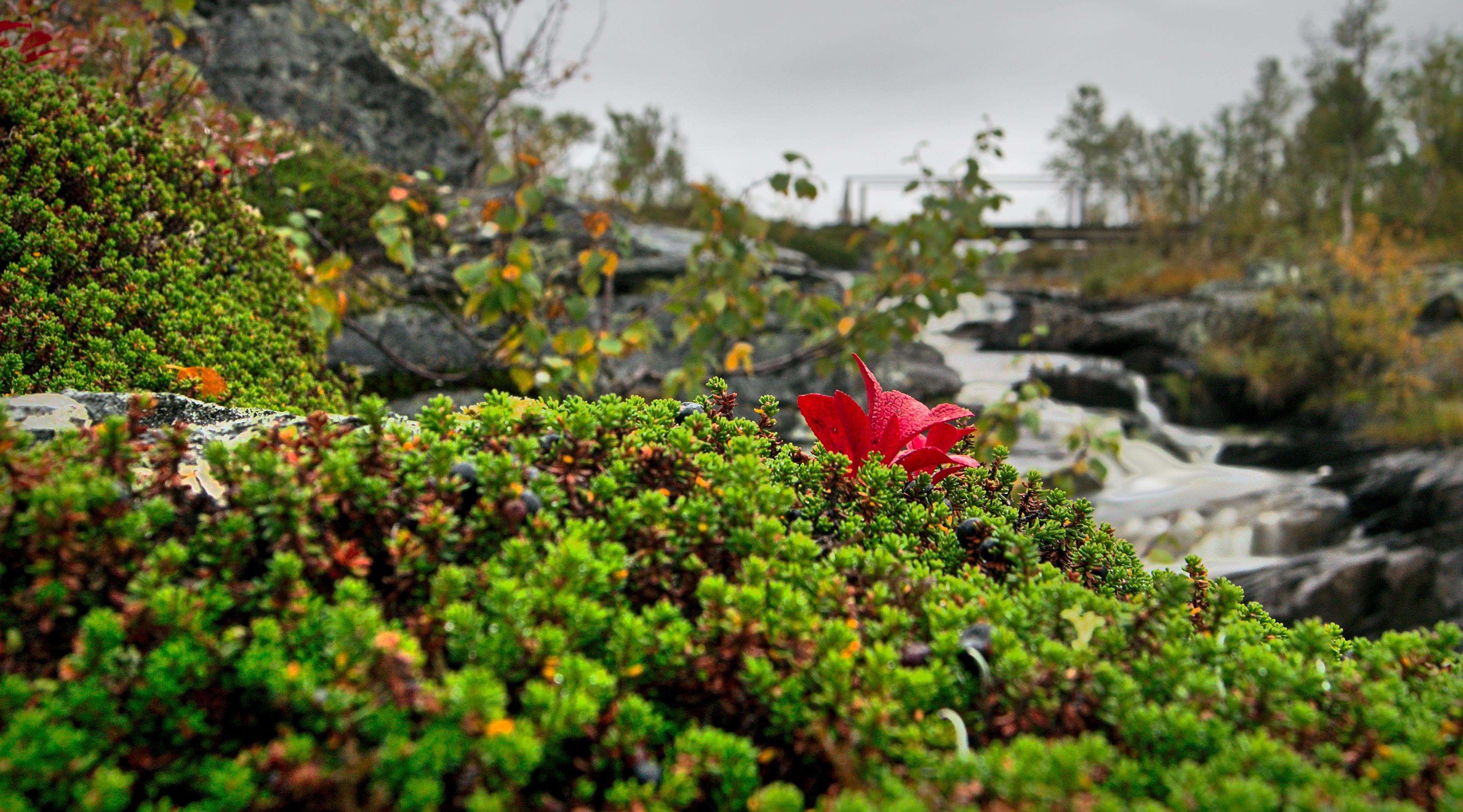 Rotes Herbstlatt im schwedischen Wald Storlien Fotoparade 2017