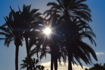 Palmen im Winter in Alicante