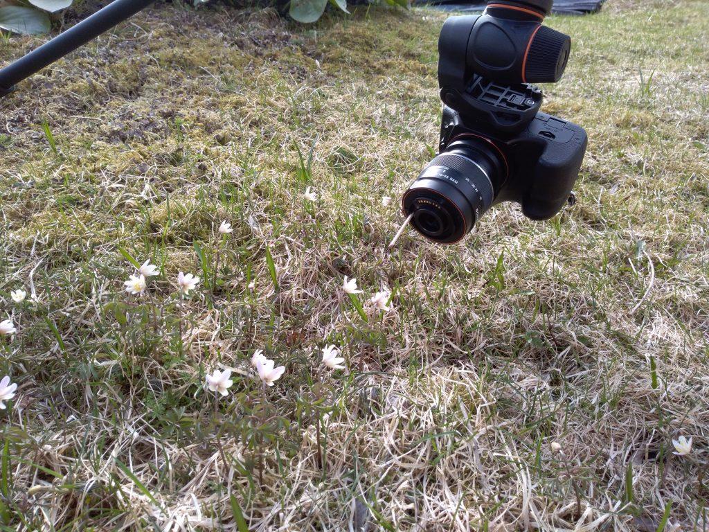 Kamera auf dem Stativ, beim fotografieren winziger Blüten.