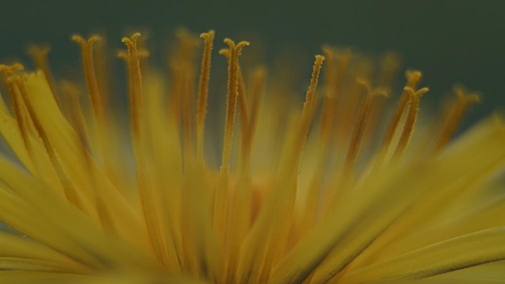 Makroaufnahme einer Löwenzahnblüte