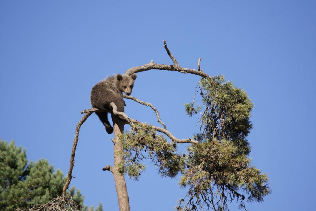 _Bär auf Baum tierpark kolmården