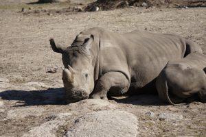 Nashorn Tierpark kolmården