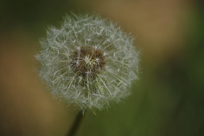 Makrofotografie einer Pusteblume