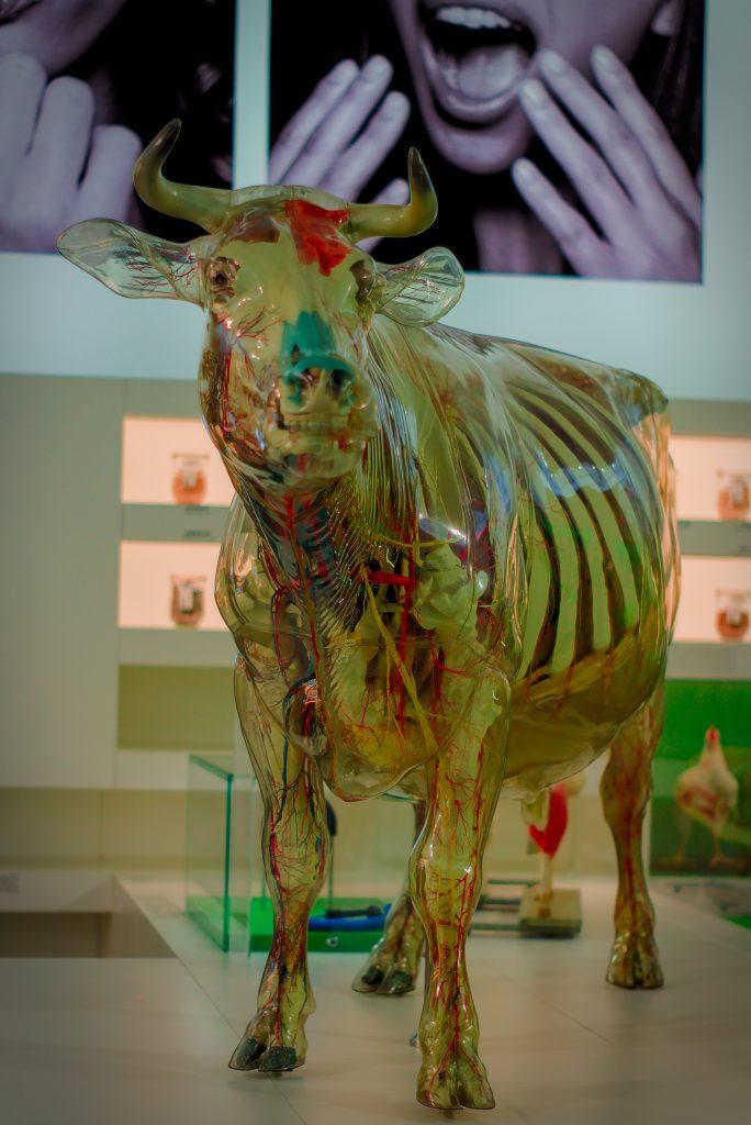 Gläserne Kuh Hygiene Museum Dresden