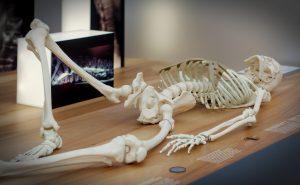 liegendes Skelett in der Bewegungsausstellung Hygiene museum Dresden
