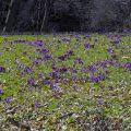 Krokuswiese naturschutztierpark Görlitz