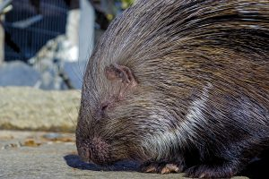 Stachelschwein Naturschutztierprak görlitz