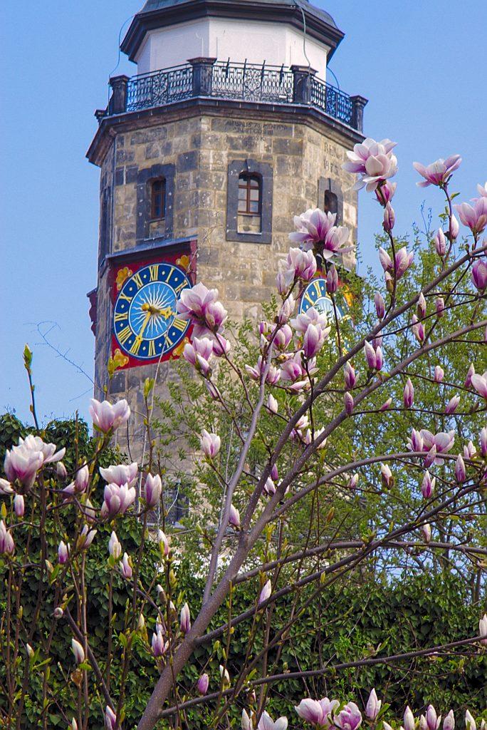 Blühende Magnolien