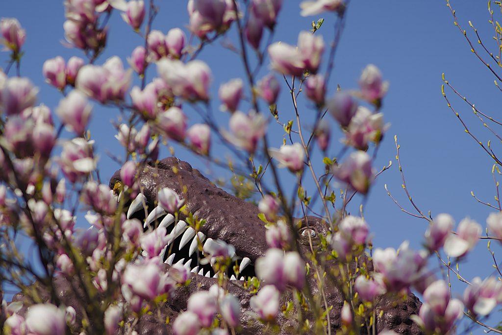 Magnolienblüten Saurier in Saurierpark