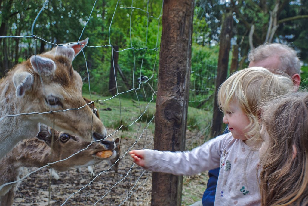 kind füttert Damwild Pestkownica Polen Drawa