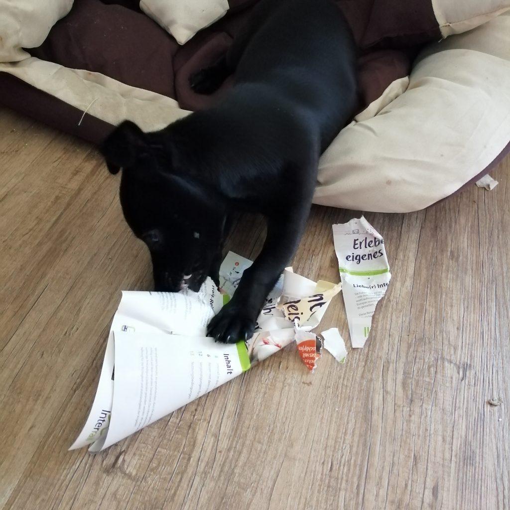 Hund zerreisst Papier Interrail in Polen
