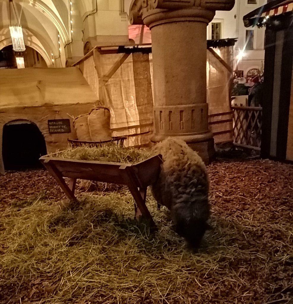 schlesischer christkindelmarkt zu görlitz tiere schafe