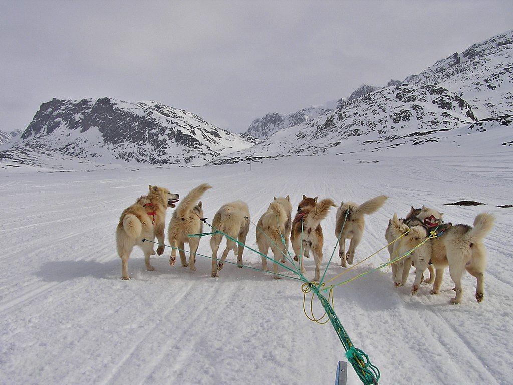 Grönland Schlittenhunde