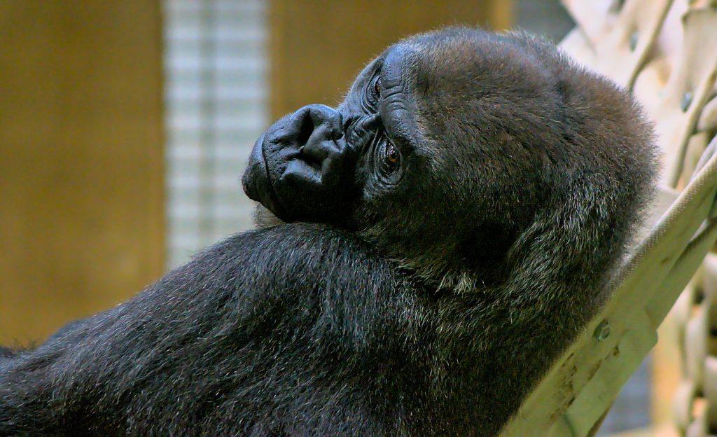 Gorilla Allwetterzoo Münster