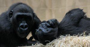 Gorillas Allwetterzoo Münster Sohn und Mama