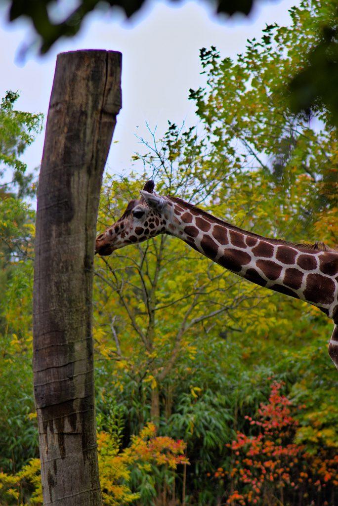 Allwetterzoo Münster Giraffe Münsterland